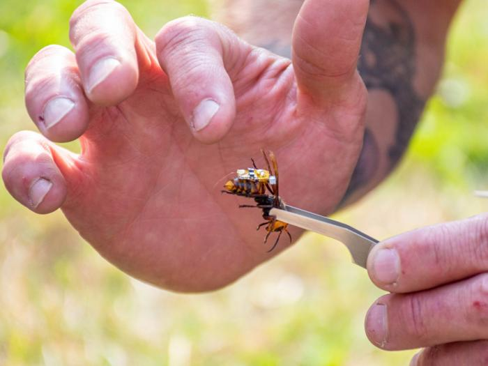 In this Sept. 30, 2020, photo provided by the Washington State Department of Agriculture, a researcher holds a live Asian giant hornet with a tracking device affixed to it near Blaine, Wash.